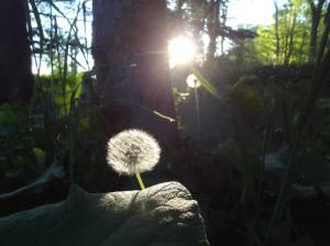 dandelionsun